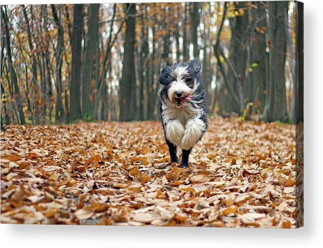 Pets Acrylic Print featuring the photograph Dog Running In Forest by Regarder Tout Autour De Soi