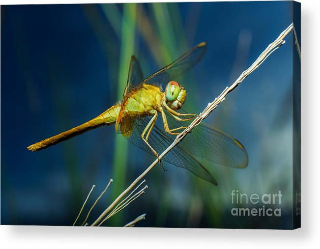 Forest Acrylic Print featuring the photograph Dragonflies, Insects, Animals, Nature by Boyphare
