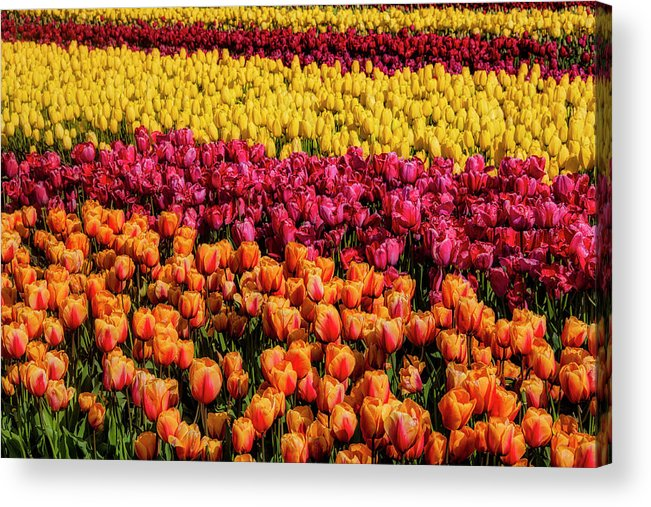 Tulip Acrylic Print featuring the photograph Dreaming Of Endless Colorful Tulips by Garry Gay