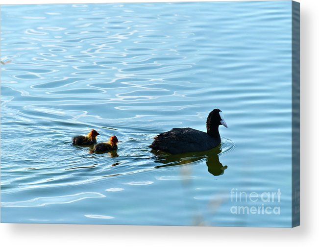 Fulica Atra Acrylic Print featuring the photograph Eurasian Coot And Offspring In Ria Formosa. Algarve, Portugal by Angelo DeVal