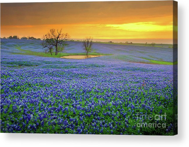 Texas Bluebonnets Acrylic Print featuring the photograph Field Of Dreams Texas Sunset - Texas Bluebonnet Wildflowers Landscape Flowers by Jon Holiday