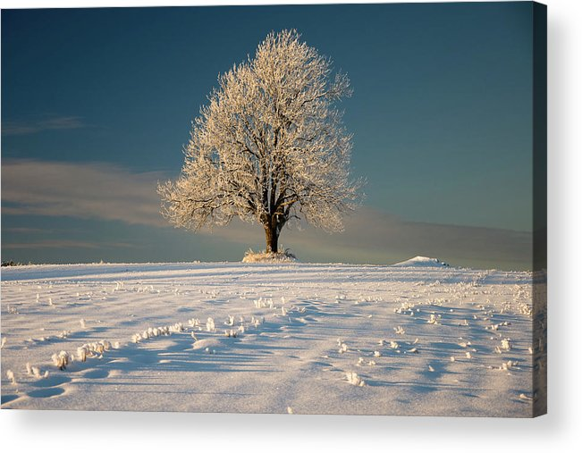 Snow Acrylic Print featuring the photograph Frosty Oak Tree by By Sigurd Rage