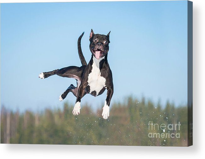 Muscular Acrylic Print featuring the photograph Funny American Staffordshire Terrier by Grigorita Ko