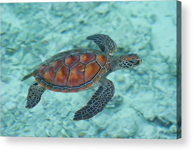 Underwater Acrylic Print featuring the photograph Green Sea Turtle by Mako Photo