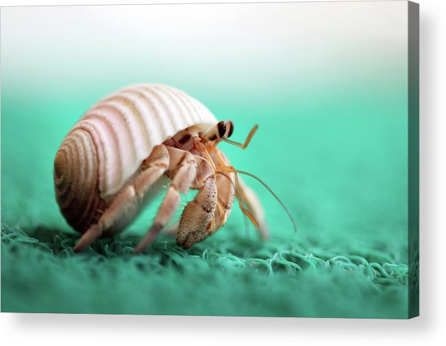 Animal Shell Acrylic Print featuring the photograph Hermit Crab Running by With Love Of Photography