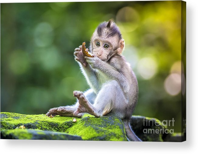 Small Acrylic Print featuring the photograph Little Baby-monkey In Monkey Forest Of by Trubavin