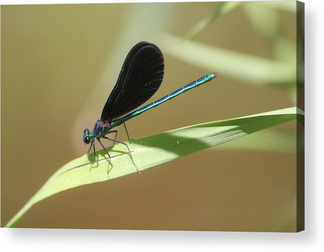 Ebony Jewelwing Acrylic Print featuring the photograph Male Ebony Jewelwing by Callen Harty