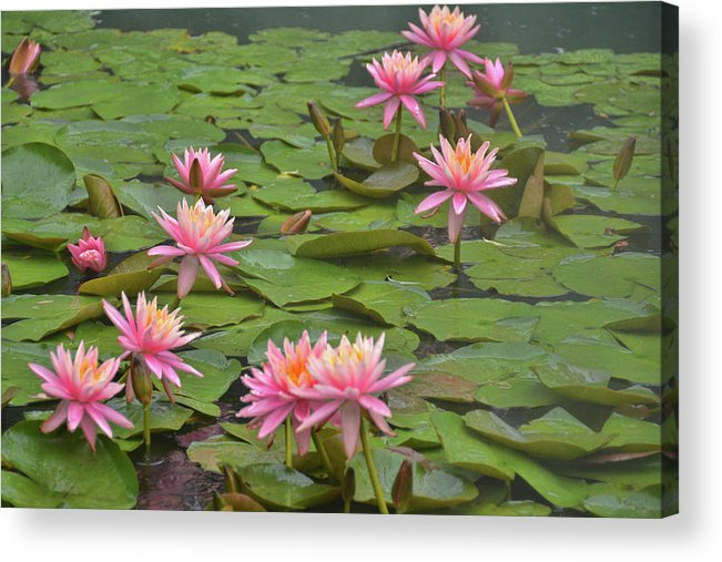 Nymphaeaceae Acrylic Print featuring the photograph Pond Decor by Jamart Photography