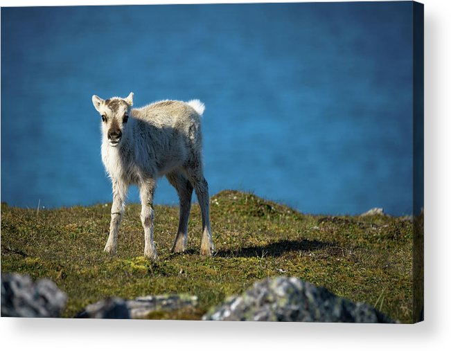 Animal Acrylic Print featuring the photograph Reindeer Grazing In Spitzbergen by Kai Mueller