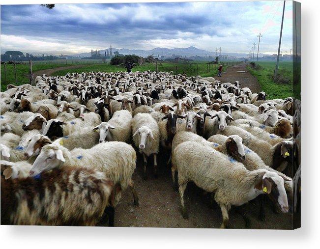 Sheep Shepherd Acrylic Print