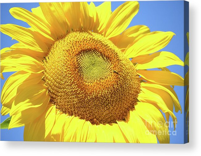 Blue Sky Acrylic Print featuring the photograph Sunny Sunflower by Deb Cawley