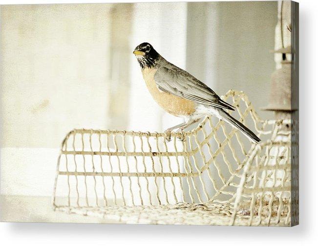 Animal Themes Acrylic Print featuring the photograph Sweet Robin by Kim Klassen Photography