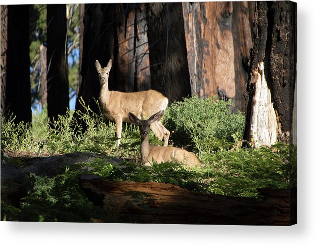 Deer Acrylic Print featuring the photograph Two Deer by Carly Creley