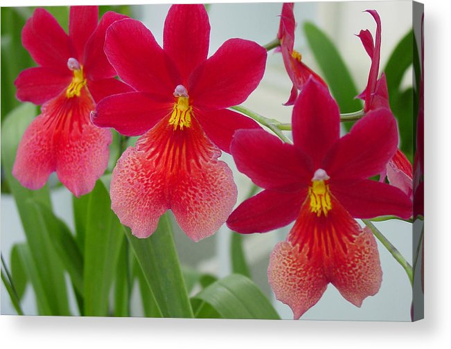 Orchids Acrylic Print featuring the photograph Trio by Suzanne Gaff