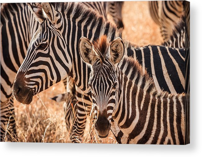 3scape Acrylic Print featuring the photograph Zebras by Adam Romanowicz