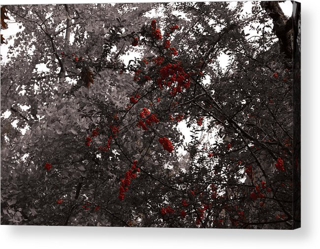 Nature Acrylic Print featuring the photograph Berry Trees by Bill Ades