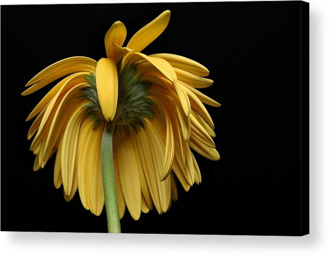 Flower Acrylic Print featuring the photograph The Flop by Dan Holm
