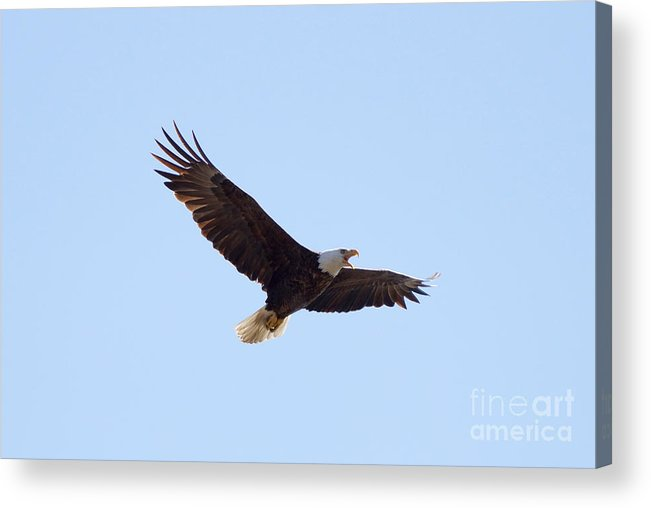 Eagle Acrylic Print featuring the photograph Bald Eagle Calling by Lori Tordsen