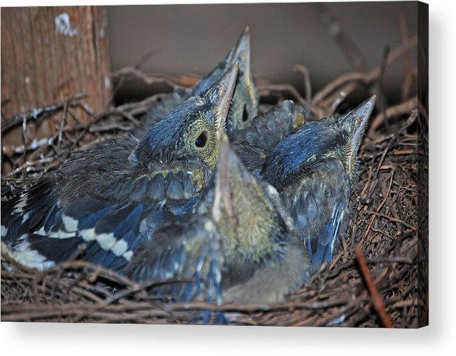 Bluejay Chicks Acrylic Print featuring the photograph Bluejay Chicks by Jaron Wood