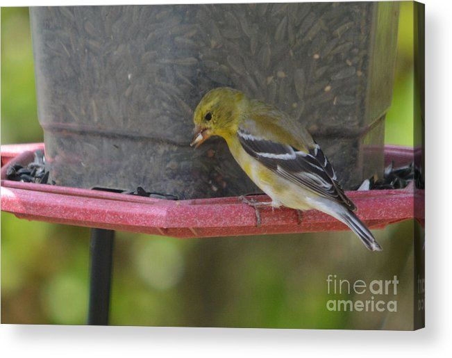 American Goldfinch Prints Acrylic Print featuring the photograph Chow Time by Ruth Housley