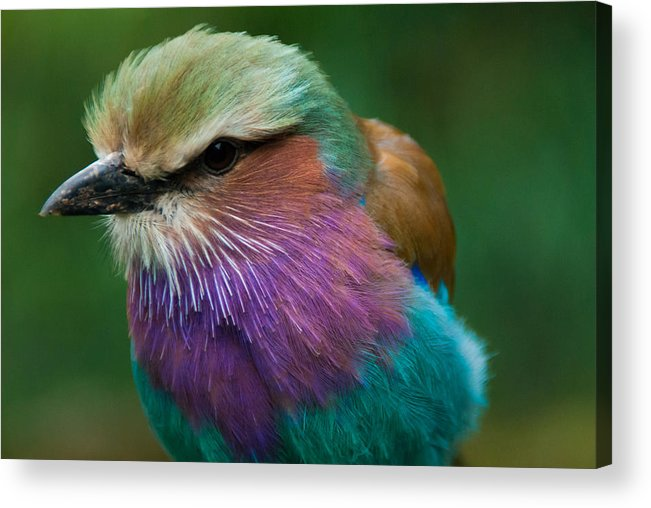 2012 Acrylic Print featuring the photograph Rainbow Bird by Daniel Kocian