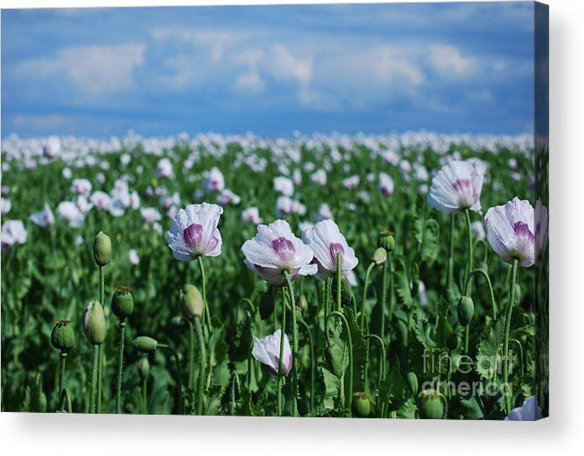 Flower Acrylic Print featuring the photograph Poppy Field by Sarka Olehlova