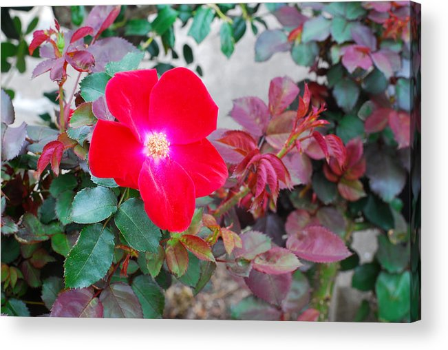 Connie Fox Acrylic Print featuring the photograph A Real Knockout by Connie Fox