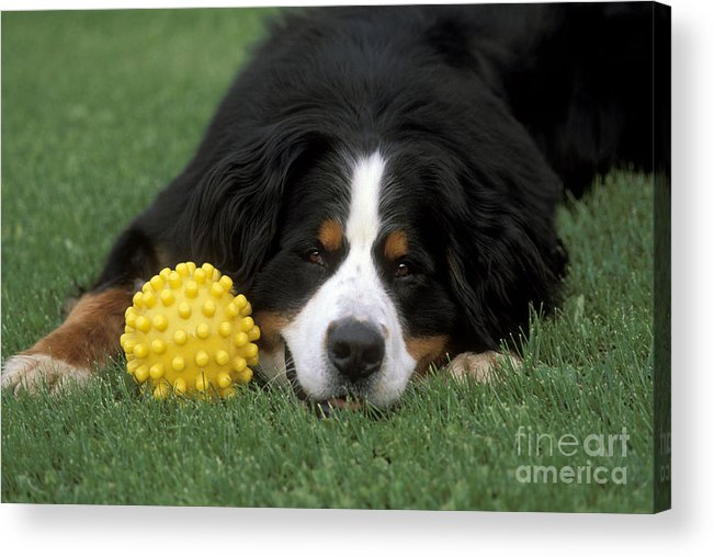 Bernese Mountain Dog Acrylic Print featuring the photograph Bernese Mountain Dog by Rolf Kopfle