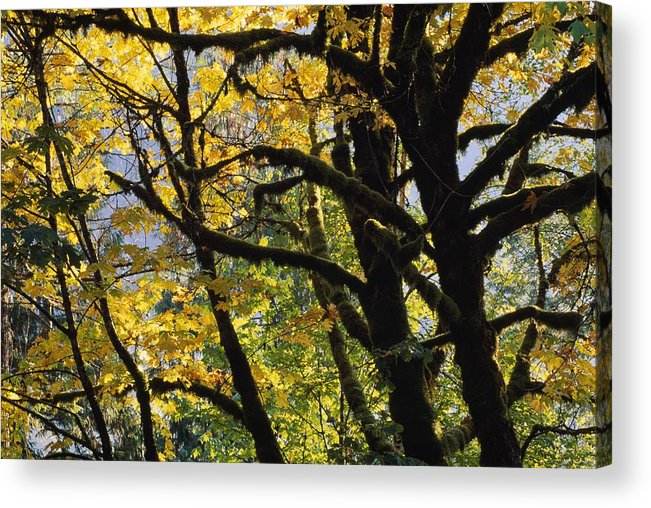 Big Leaf Maple Trees Acer Macrophyllum In Autumn Color Detail