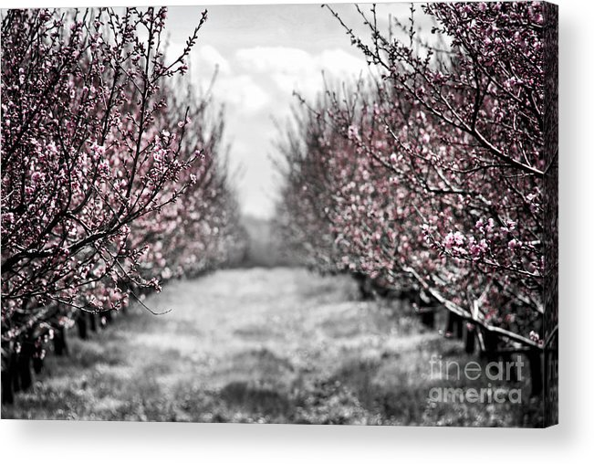 Peach Acrylic Print featuring the photograph Blooming Peach Orchard by Elena Elisseeva