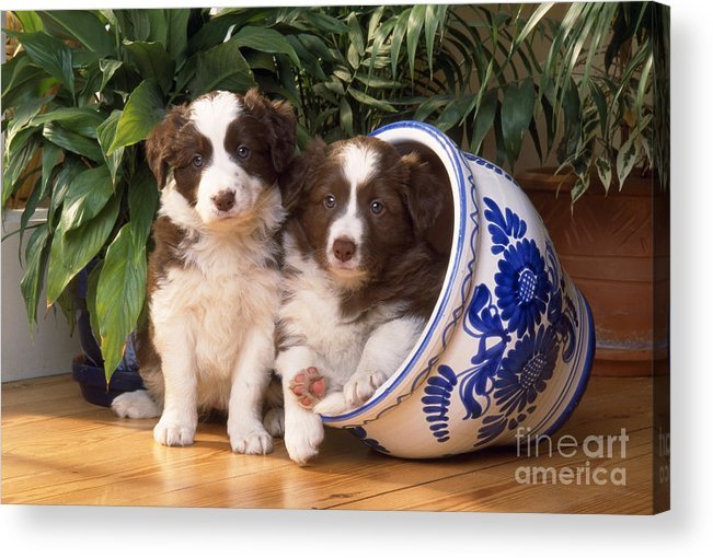 Border Collie Acrylic Print featuring the photograph Border Collie Puppies In Plant Pot by John Daniels