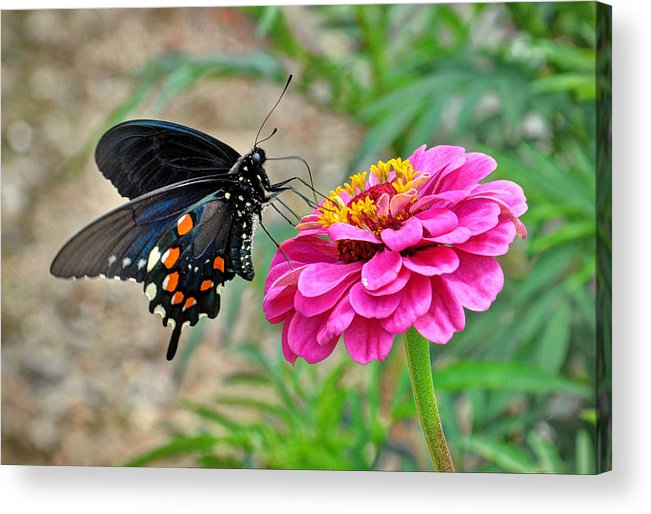 Butterfly On Flower Acrylic Print featuring the photograph Butterfly On Flower by Savannah Gibbs