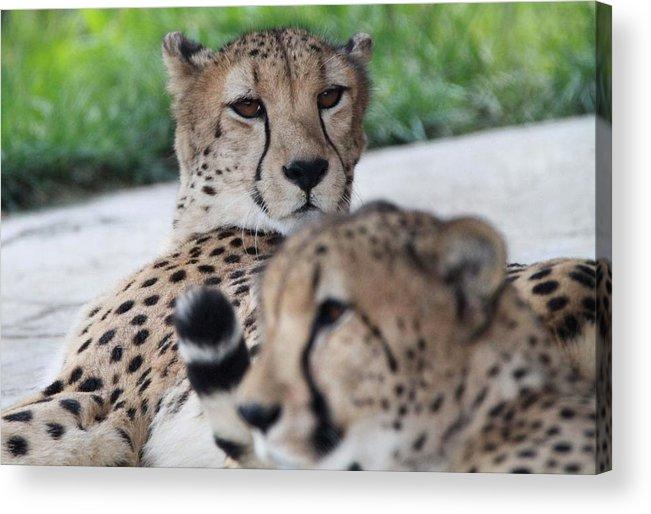 Cheetah Portrait Acrylic Print featuring the photograph Cheetah Awakening by Dan Sproul