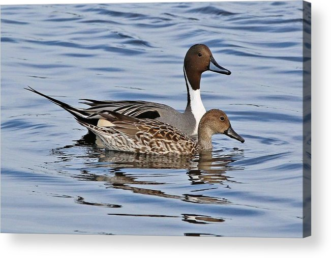 Bird Acrylic Print featuring the photograph Duck Duo by Paul Golder