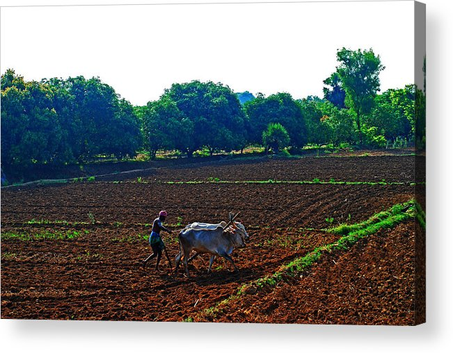 Working Animal Acrylic Print featuring the photograph Farmer With Cow by Gopan G Nair