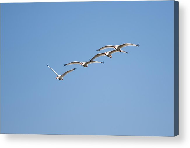 Nature Acrylic Print featuring the photograph Flying Formation by John M Bailey