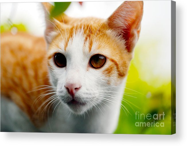 Tabby Cat Photo Acrylic Print featuring the photograph Getting Ready For The Hunt by Ivy Ho