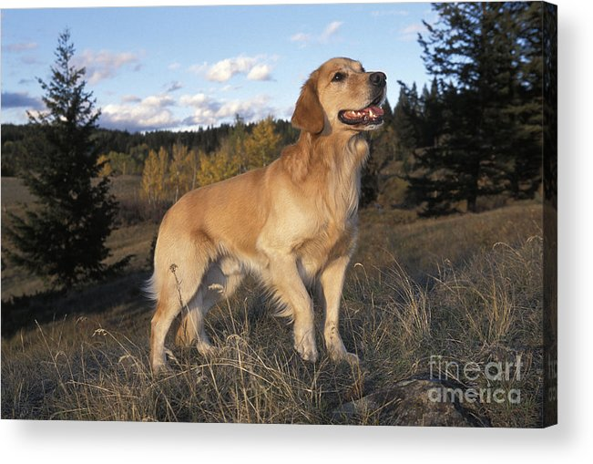 Golden Retriever Acrylic Print featuring the photograph Golden Retriever Dog by Rolf Kopfle
