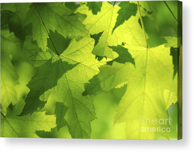 Leaf Acrylic Print featuring the photograph Green Maple Leaves by Elena Elisseeva