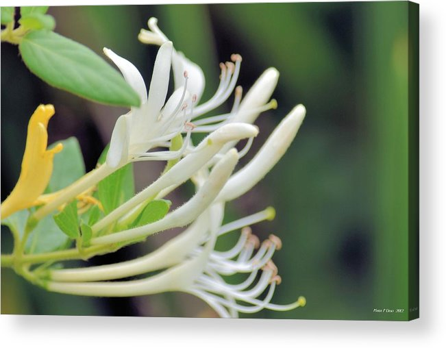 Honeysuckle Fingers Acrylic Print featuring the photograph Honeysuckle Fingers by Maria Urso