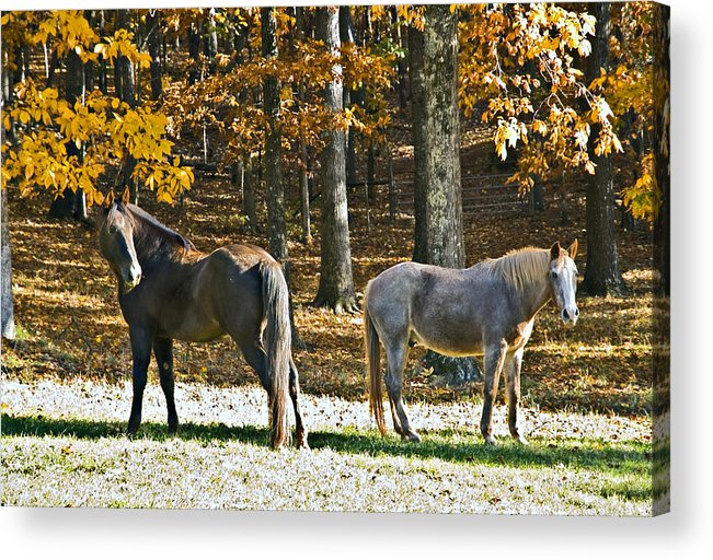 Animal Acrylic Print featuring the photograph Horses In Autumn Pasture  by Susan Leggett