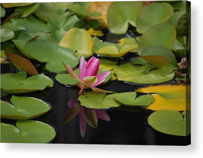 Lotus Acrylic Print featuring the photograph Lotus by Rajendra Shrestha