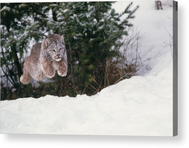 Lynx Acrylic Print featuring the photograph Lynx Leaping by William Ervin/science Photo Library