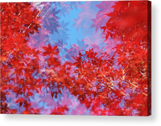 Leaf Acrylic Print featuring the photograph Maple Leaves by Catherine Lau