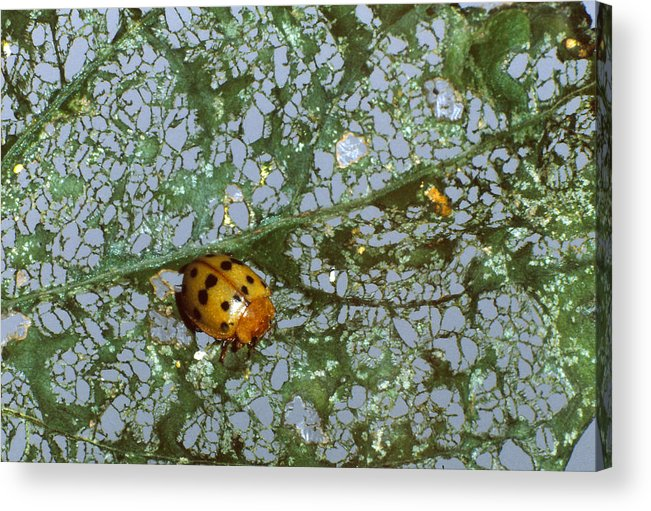 Adult Beetle Acrylic Print featuring the photograph Mexican Bean Beetle by Harry Rogers