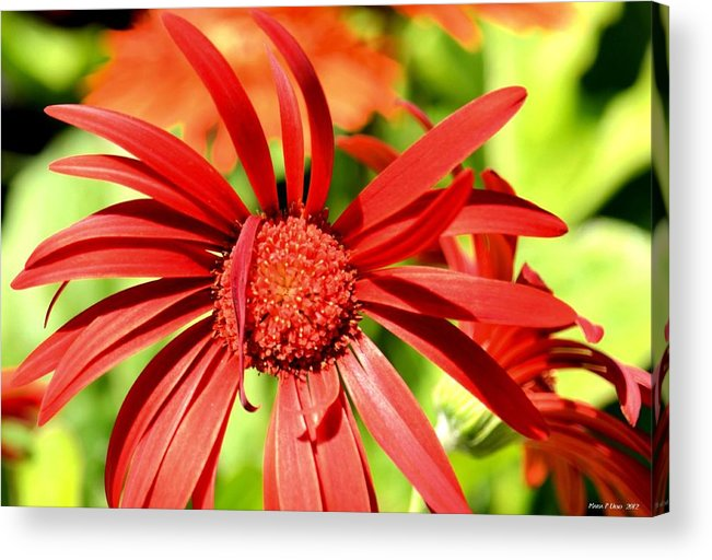 One Lazy Petal Acrylic Print featuring the photograph One Lazy Petal by Maria Urso