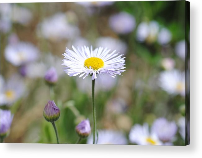 Daisy Acrylic Print featuring the photograph Open by Melisa Crook