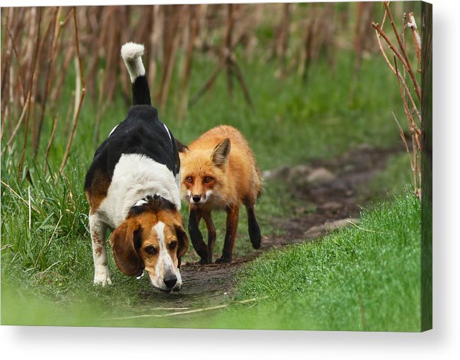 Animals Acrylic Print featuring the photograph Probably The World's Worst Hunting Dog by Mircea Costina Photography
