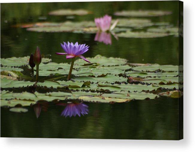 Purple Blossoms Acrylic Print featuring the photograph Purple Blossoms Floating by Patricia Twardzik