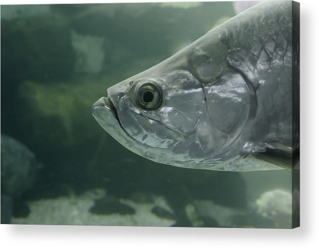Mote Acrylic Print featuring the photograph Silver Tarpon by Gene Norris